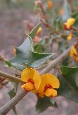 Native holly: Oxylobium ilicifolium