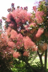 Smoke bush: Cotinus coggygria