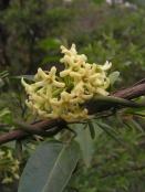 Maybe Marsdenia rostrata