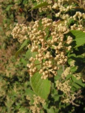 Pomaderris (Buckthorn family)