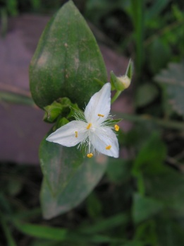 Wandering jew: Tradescantia fluminensis