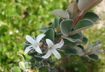 Correa alba: white correa