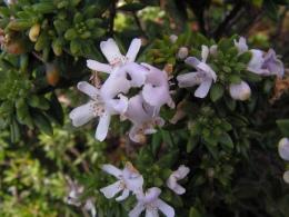 Westringia fruticosa: coastal rosemary