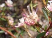 Pimelia linifolia: slender rice flower