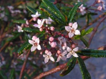Zieria smithii: stinkwood