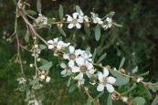 Leptospermum laevigatum: coastal tea tree