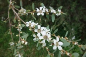 Leptospermum laevigatum: coastal tea tree