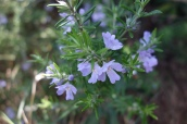 Prostanthera ?: mint bush