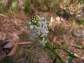 Stackhousia monogyna: Creamy candles