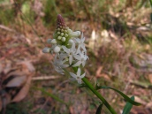 Stackhousia monogyna: Creamy candles