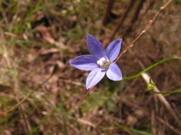 Wahlenbergia multicaulis: Tadgell's bluebell [?]