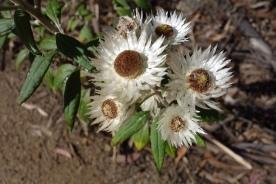 Everlasting paper daisy