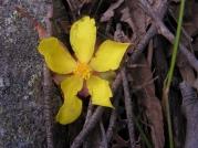 Hibbertia scandens: snake vine; climbing guinea vine