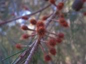 Casuarina littoralis (?) : black she-oak