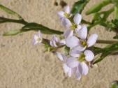 Sandflower