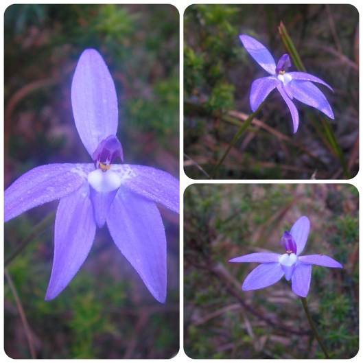 Glossodia major: waxlip orchid