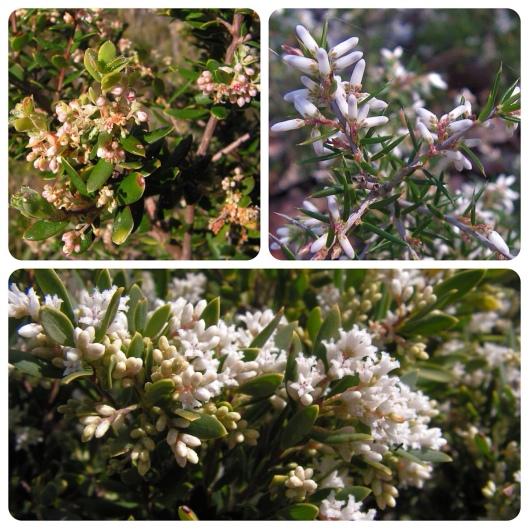 Monotoca elliptica: tree broom-heath