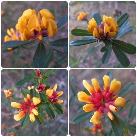 Pultenaea daphnoides: large-leafed bush pea