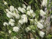 Melaleuca ericifolia (?): swamp paperbark