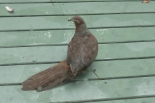 Brown pigeon who visits my front deck and the poison peach (Trema tomentosa) that overhangs it.